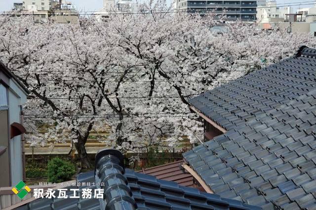 toyamakawara sakura2.jpg