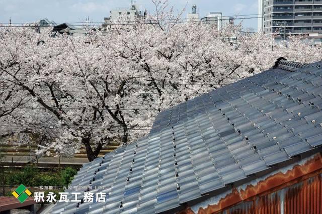toyamakawara sakura4.jpg
