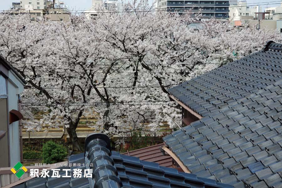 http://shakunaga.jp/info/toyamakawara%20sakura2.jpg